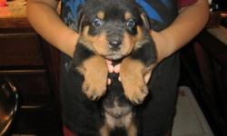 Parents/pups are very great with kids/people. Parents/pups registered purebreed German Rottweiler. Puppies come with registration Cert. Puppies( large bone ) are 13 weeks old, tail docked, dewormed, first vaccination, crate trained. 1 female and 1 male