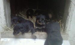 Rottweiler Pups, hurry only 6 left... Born 3/29/11 ready for new homes now. Tails docked, dew claws removed. Parents onsite. Very well socialized Asking $375/$100 dep. (317)-201-7463.
