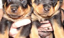AKC ROTTWEILER PUPPIES - 8 weeks old with tails docked and dew claws removed. 2 girls & 1 boy available. They are very sweet and playful having been raised inside our home with lots of attention. They will make wonderful protectors for your family. $550