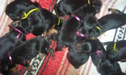 . Sire is pointed with AKC toward his Championship. In a 4 generation Pedigree these puppies will have 104 Champions to their credit! 382 Working Titles WOW! Large Heads/short noses/dark color/real sweet temperments/eyes opened. 4 boys in this litter.