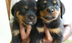 Adorable Rottweiler Puppies For Adoption. the puppies are current on their vaccinations and veterinary comes with all necessary documents. They are pure Rottweiler puppies Champion line, which agrees with the kids and other pets. They are seeking approval