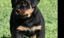 cute rottweiler puppies for adoptio. 1 male 1 female there are AKC registerd very playful with evry person and other house pet. this babies will make agood adition to your family. contact for more details via +1 561 732 4715