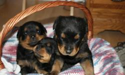 ONLY 1 Male and 2 Females left!, Tails docked and dew claws removed Puppies born October 28th Will be ready second week of December! Have both parents, very mellow and loving dogs. Parents weigh about 125 pounds Serious callers only please! Contact Gene