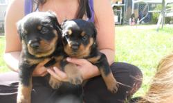 We have 5 German Rottweiler puppys for sale. Two females and three males. Puppys are AKC ceritified.Dew claws and tails docked. They will have their first vaccinations before they go to their new home. These puppys are raised in my home around children