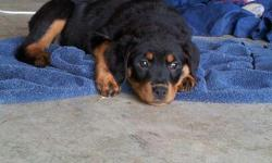 Rottweiler Pups For Sale. Born 09/15/2012. Full blooded, dew claws removed, tails docked, up-to-date on shots, dewormed. Call for more information --.