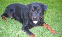 AKC/OFA Male seeking a AKC/OFA Female in the Houston area. I would like to breed my Rottweiler for pic of litter. Buddy is 5 years old.