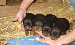 Four Rottweiler puppies for sale. Two females and two males. Have had tails docked and will be up to date on shots and dewormed before sale. Mother is full German and father is full American. Will be ready the week of April the 6th.