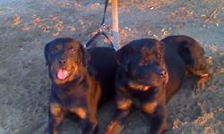 Pure breed Rottweilers for sale. AKC registered. Dogs must go by Friday. Call Micah ASAP at (216)240-0673.