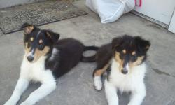 we have 5 very smart rough collie puppies 2 black tri 3 white mom and dad are both on site. also feel free to email for pics or call for more info or to set up a time to see the pups