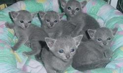 We have a litter of gorgeous 10 weeks old Russian Blue kittens for sale to approved homes. They are Pedigreed, and registered with CFA / TICA as pure breed. They will be coming with first and second vaccinations and worming. Their double coat is already