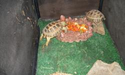 Russian Tortoises - I have a male and female russian tortoise . They just started breeding this year and need a little more space then I can give them, I am selling them with there supplies for 350.00. if you are interested call sherri at 713-240-1976