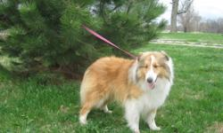 Making an extra sweet Sheltie available. He is a beautiful dog, with a flowing coat and full white collar. He is of great Sheltie conformation. I have the parents. I just have not advertised very much this past year and he has, of course, grown. He is
