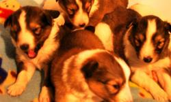 Six Sable Sheltie Puppies born May 8th (Mothers Day). (4) Females (2) males. 4 with sable coats, 2 with merle coats. Excellent markings, white collars, socks and tipped tails. Home raised puppies will be available for their new home the first week in