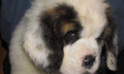 11 week old AKC Saint Bernard Pet pups from a show litter. Family raised looking to place in loving homes.