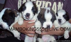 9 WEEKS OLD, FIRST MULTIPLE SHOT, DEWORMED MORE PICTURES AND DETAILS CALL AT......619-408-4214