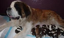 AKC register Saint Bernard pups for sale champion blood lines ,related to movie ''Beethoven big brack''  My Saints long coat (hair} dry mouth , very good temperament ,smart,beautifol ,large size pups,I HAVE 6 FEMALES,3 MALES.BORN