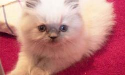 SALE! SALE! $350 HIMALAYAN PERSIAN KITTENS - BIG BLUE EYES!! 12 WEEK OLD TORTIE BLUE PT. AND 5 MONTH OLD MALE FLAME POINT HIMALAYANS, WONDERFUL! BIG BLUE EYES, PLAYFUL AND CUTE! FAMILY RAISED. LOVING COMPANIONS. COME SEE THEM AND YOU WILL FALL IN LOVE!!!