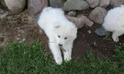 SAMOYED PUPPIES 8 WEEKS OLD AKC . WORMED SHOTS .