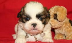 Sassy is a gorgeously marked ACA reg Shih tzu girl. She is from very loving parents with great temperments. Sassy will be family raised by adults and children (ages 5-9-15)....She will make a wonderful addition to any family...She will be dewormed at