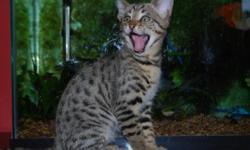 Beautiful f3c savannah kittens available. Puppy like personalities, well socialized, vaccinated, health guaranteed. These kittens have clear spotting patterns, big ears, and long, lanky bodies. They resemble their great granddad serval. They are ready to