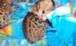 Savannah Kittens for sale. 3 Females left. Price varies. Averages around 1,000 but somewhat negotiable. Deposits being accepted, and payments can be made up until you pick up your baby. The kittens come with a 1 year congenital (genetic) health