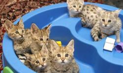 We have beautiful kittens available F1 to F5 Savannah Kittens. They are tamed, socialized, bottle fed and got all necessary documents. These kittens very much like short walks and playing with kids and other pets like puppies. For more details concerning