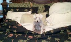 Looking for a male schnauzer to mate with a white female schnauzer