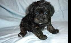 adorable, non-shedding, very playful and easy to train, both parents AKC, socialized, used to other dogs and cats, great with kids, calm disposition, black wavy hair,DOB 9-5. 3 males. 1st shots, vet-checked. One lookes like a poodle, the other 2 have more