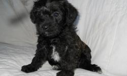 adorable, non-shedding, black wavy hair,home raised, socialized, both parents AKC. 1st shots, vet-checked, great with kids, very smart and easy to train.will be about 15#. 3F 1M. very loving and have mellow dispositions.
