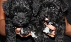 Schnoodle Puppies (Toy Poodle/Mini Schnazer Mix) 2 Girls (Black w/a little white on chest) 2 Boys (White w/Black Spots) 6 Weeks Old, 1st shot and dewormed every 2 weeks. Tails docked and declaws removed. GREAT with kids and DO NOT SHED. Will be approx. 5