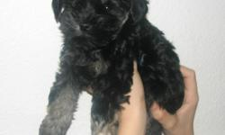 2 Males left. Schnoodle/Yorkie mix born October 6, 2012. One is all black, the other is black with tan paws and eyebrows. The coloring may change as they get older. Very friendly and have been held since birth and played with. Very accustomed to people.