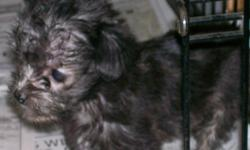 Cute and very tiny. Daddy is a Shihtzu/ mommy is a Schnauser-yorkie. This little guy is 13 weeks old and just adorable. He's the runt and will stay very small He has 1st shots