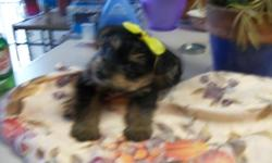 We have 1 Male Schnorkie puppy left. He is so sweet and adorable. Mother is a Yorkie and the father is a miniature Schnauzer. We have both parents. He will be a small dog. Not registered. He has had first shots and wormed. Tail is docked and his dew claws