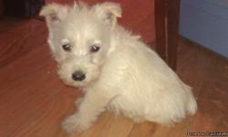 We have beautiful wheaten Scottish Terrier puppies. They're AKC registered. The dew claws are removed. Our puppies come with a health guarantee and are non-inbred. They're well socialized with other dogs as well as children. The parents are on the