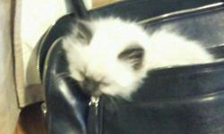 A beautiful Female Seal Point Himalayan Kitten for sale. 6 months old