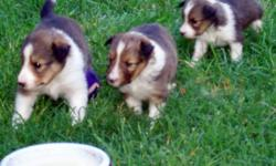 Sable/White M/F available DOB 6-10-10 Sire is Sable/White, Dam is Tri-color, see pics. Currently accepting Deposits.