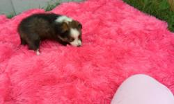I have 6 Beautiful Sheltie puppys 4 males and 2 females these puppies were born on the 13th of April. will be ready for new home on the first weekend in June. Taking Deposits so pick yours out as soon as possible. They will have their 1st set of shots and