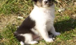 Raising Sheltie dogs-puppies looking for new homes now. all have been vet checked and recieved first vaccinations that are due. Many photos available. call for information --