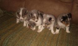 I have two female blue murl shelty puppies call 561-688-4400