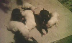I HAVE 11 PUPPIES LOOKING FOR GREAT HOMES THE DAD IS ALL WHITE SHEPHERD MOM IS RED NOSE   ALSO NEW LITTER MOM IS BLUE NOSE    I AM ASKING 200 IF ANY ONE WANTS ONE   561-688-4000  OR  561-688-4000 I LIVE IN LIBERTY NY