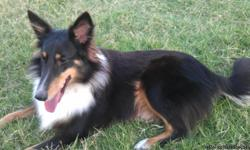 I have a akc reg. tri female sheltie named Jenny that I'm looking to find a good home for , she is very loving and sweet . She knows basic obediance like sit,stay,come,shake and she will walk behind you off leash with no problem, She is also crait