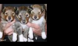 Shetland Sheepdog Puppies For Sale Westchester Puppies specializes in the sale of healthy puppies and kittens from certified breeders, with whom we have enjoyed long-standing relationships. Our puppies are home-raised and responsibly bred for temperament