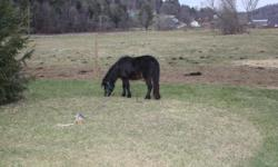 eight year old shetland mare for sale. Her filly from August of 2011 is also for sale. asking $500 each or $900 for the two of them.
