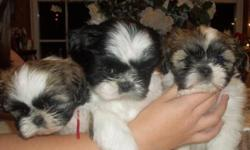 2 Female Shi Apso Puppies Ready for new homes just in time for Christmas. 2 are White with Brown and Black Spots. Look just like Shi Tzu`s. 1st shots. Fluffy and Cuddly. -- All the puppies will be small 8-12 lbs. Puppys are ready now for