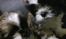 full blooded shi shu puppies born 9-9-12 must go 300 obo 3618524949