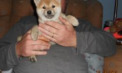 "CKC SHIBA INU FEMALE PUPPY. I HAVE A BEAUTIFUL HOME RAISED RED . SHE HAS HAD HER 1st PERMANENT SHOT AND IS UP TO DATE ON HER WORMINGS. SHE WAS BORN ON NOVEMBER 7th,AND IS READY TO GO TO HER ""FOREVER"" HOME ON JANUARY 2nd. SHE IS FULL OF NEVER ENDING ENERGY"