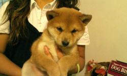 Shiba Inu puppy, 8 wks, red male. 1 st shots, wormed, dews, hand raised. **In pics, he is held by small child**504-581-6222 No text messages. Just call please.