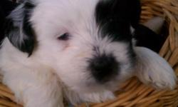 """Rosette (Registered Bichon Frise), and Baby-boy (Registered Shihtzu) had a beautiful litter of 6 puppies Born 7-24-2012 Ready for adoption 9-18-2012, 5 females, and one male. All equally """"Beautiful"""". Every puppy """"GREAT"""" people had a hard time"""