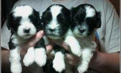 We have 3 beautiful little shih-poo puppies available for sale. We are asking 395.00 but will negotiate some for knowing that they are finding really loving homes. We have both the mother and the father. Mom is 5 lbs and the dad is about 9 lbs. and both