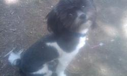 MALE 11 MONTH OLD SHIH-POO HOUSE TRAINED CRATE TRAINED NONSHEDDING AND HYPOALLERGENIC VERY SMART AND LOVING TEX OR CALL ANYTIME 561-586-1611 THANKS HE IS TINY 3-4LBS